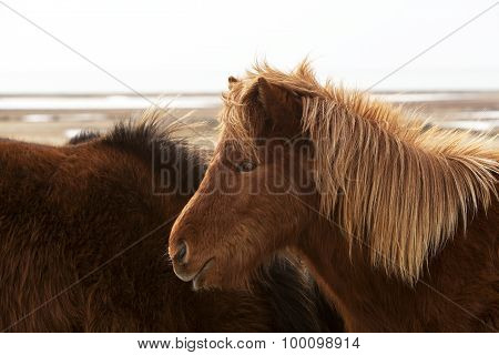 Brown Icelandic Horse On A Meadow