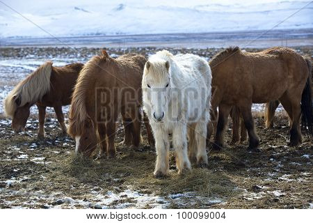 Herd Of Colorful Icelandic Horses On A Meadow