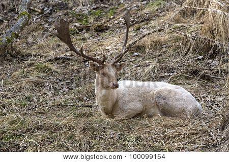 Albino Buck Deer In The Forest