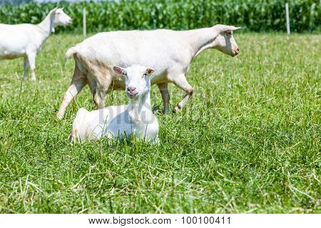 Goats On The Field