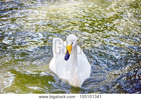 Swan Floating On The Water.