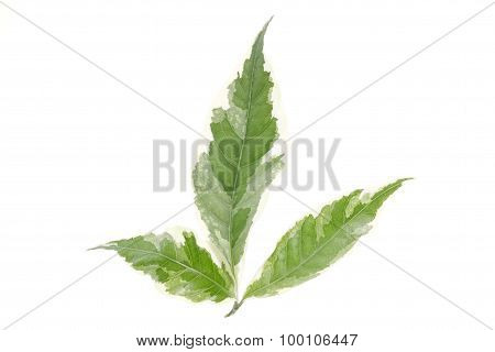 Green Leaf Isolated With Clipping Path On White Background.caricature Plant .
