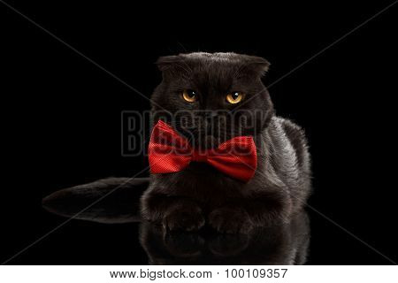 Grumpy Black Cat Lying With Bow Tie On Mirror