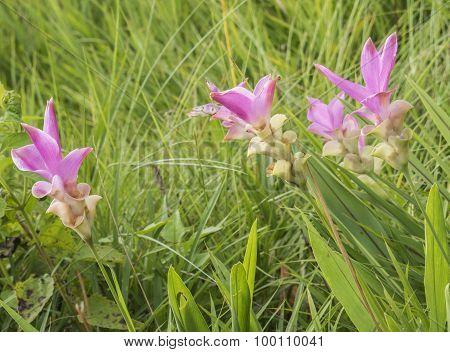 Siam Tulip Flower 1