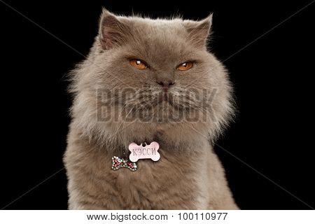 Closeup Satisfied Scottish Cat On Black