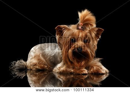 Closeup Yorkshire Terrier Dog Lying On Black Mirror