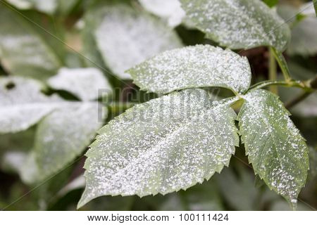 Green Leaves On The Snow