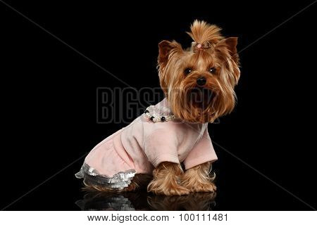 Yorkshire Terrier Dog In Clothes Sits On Black Mirror