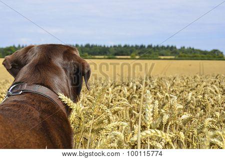 dog overlooking wheat field