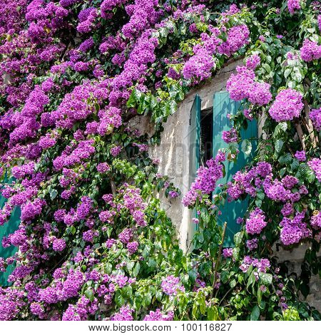 Bougainvillea Flowers At Sirmione Lake Garda Italy,