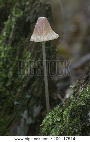 Mycena Epipterygia Mushroom