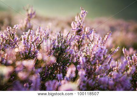Purple Heather In The Field
