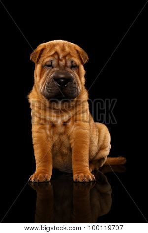 Closeup Funny Sharpei Puppy Sits On Black Mirror