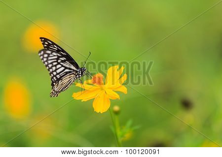 Butterfly,common Mime (chilasa Clytia)