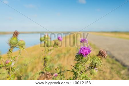 Pink Flowering Spear Thistle Plant In The Roadside