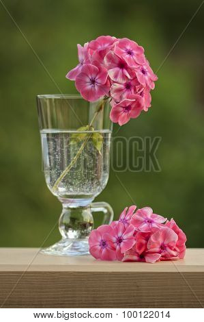 Pink Phlox In A Glass Of Water