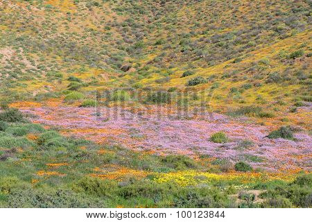 Carpet Of Flowers In Molsvlei