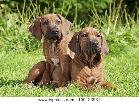 Two Rhodesian Ridgeback Puppies Outdoors