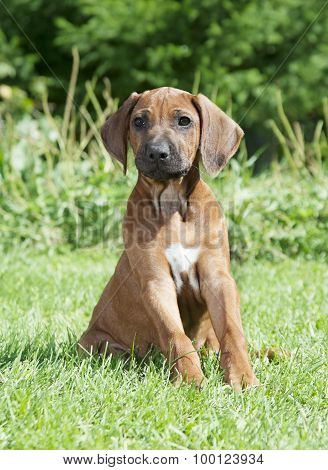 Pure Breed Rhodesian Ridgeback Puppy Dog Outdoors