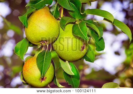 Appetizing Ripe Pears On A Tree Branch.