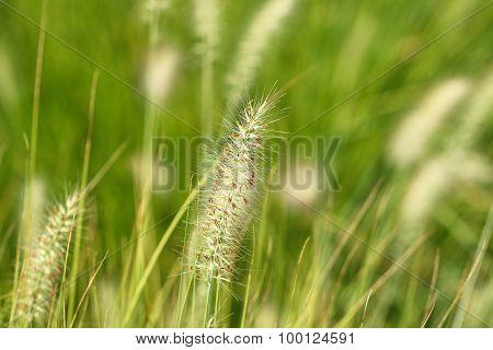 Tall fluffy grass.