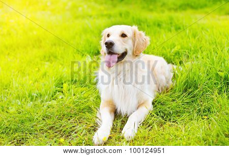 Beautiful Golden Retriever Dog Lying On The Grass In Sunny Summer Day