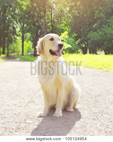 Beautiful Golden Retriever Dog Sitting Outdoors In Sunny Summer Day