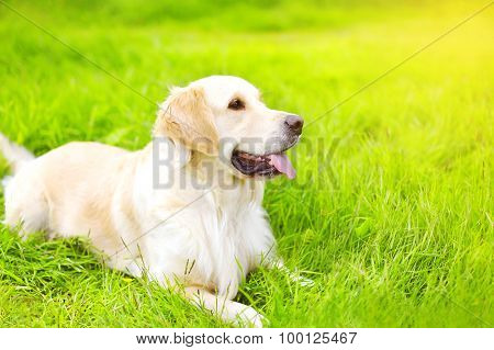 Portrait Of Beautiful Golden Retriever Dog Lying On The Green Grass In Sunny Summer Day