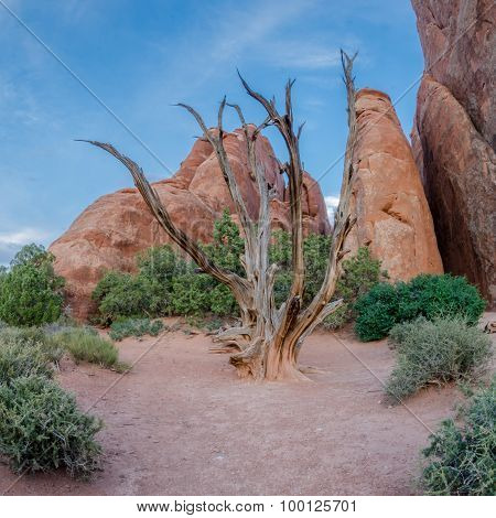 Bare Juniper Tree In Arches