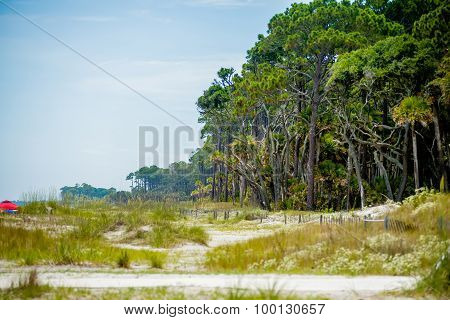 Palmetto Forest On Hunting Island Beach