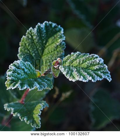 Frosted alders