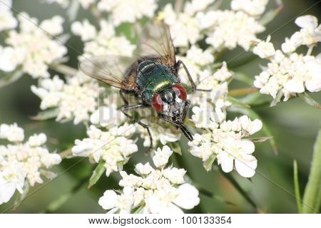 green bottle fly macro