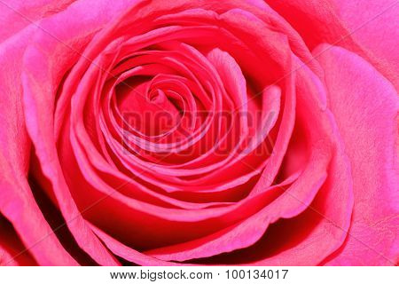 macro pink rose head flower