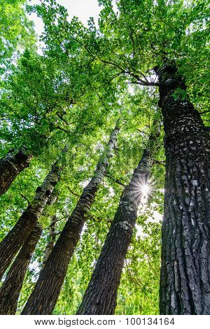 Eminescu's Famous Odd Poplar Trees Called