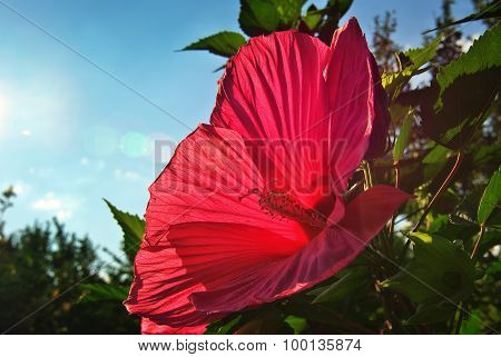 Red Hibiscus.