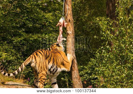 Amur Tiger Feeding
