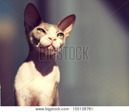 young cat don Sphynx breed