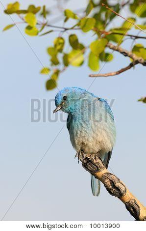 männlich Berg Bluebird thront auf Zweig