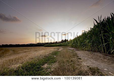 Beautiful Nature - Golden Wheat And Green Corn Field Edge
