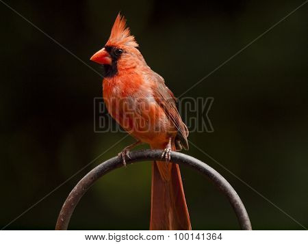 Red Cardinal on Perch