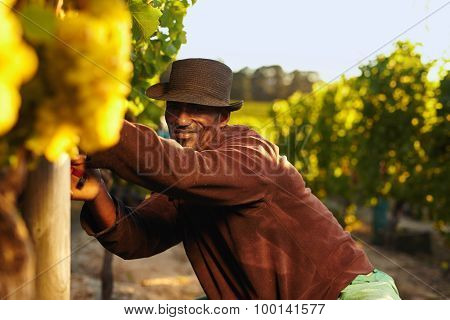 Farmer Harvesting Grapes In Vineyard