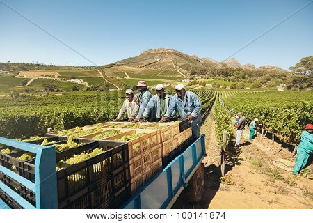 Transporting Grapes From Vineyard To Wine Manufacturer