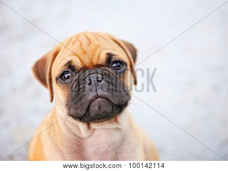 a cute chihuahua pug mix puppy (chug) sitting on concrete looking up at a person in a backyard during summer