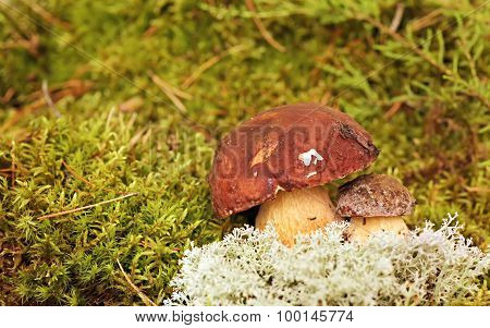Mushrooms Bolete, fungus in the wild , Boletus pinophilus.