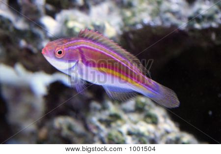 Labouti Fairy Wrasse