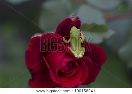 Green Tree Frog on Red Don Juan Rose