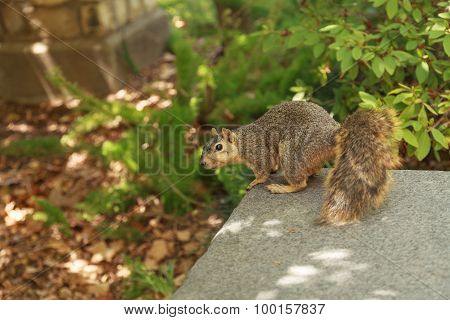 A tired squirrel takes a rest on a park bench on a hot day when the heat is exhausting in Southern C
