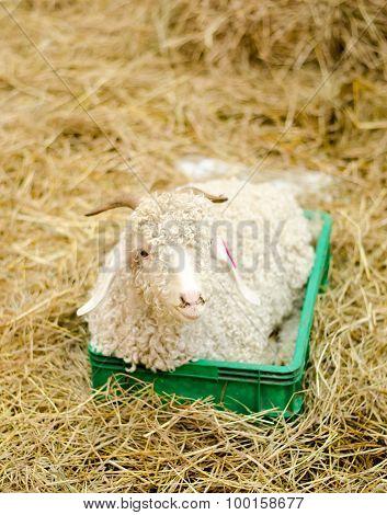 Lamb On Hey In Farm