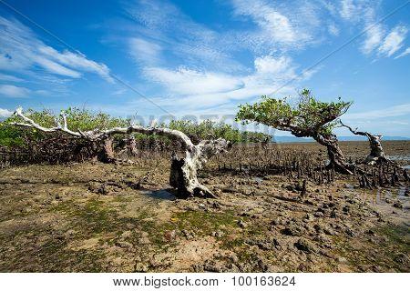 Mangrove North Sulawesi, Indonesia
