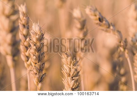 Golden Wheat Field In Summer In Pastel Color